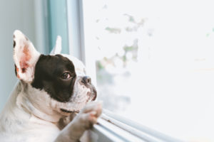 French bulldog looking out the window, presumably waiting for its owner
